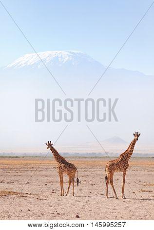 Two giraffes in front of Kilimanjaro at the background shot at Amboseli national park Kenya. Horizontal shot