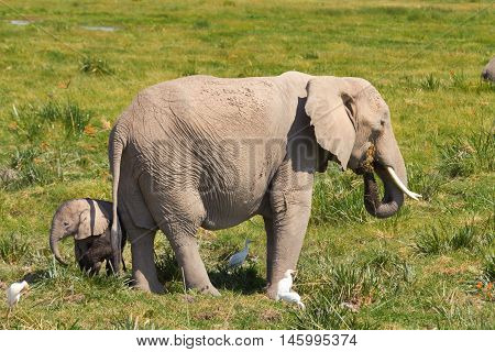 Mother and her baby elephants on a grass field. Shot at Amboseli national park Kenya