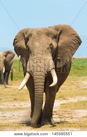 Elephant full length portrait in Amboseli National Park Kenya. Vertical shot
