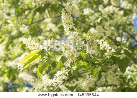 Bird Cherry. Flowering Bird-cherry.  Bird Cherry Tree In Blossom. White Flowers In Green Leafs.