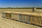 picture of potato-field  - Large bins full of potatoes in field during the harvest time in summer - JPG