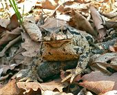 Far-Eastern Toad (Bufo Gargarizans) 3