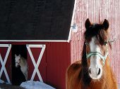 picture of hackney  - Arabian Horse and Hackney Pony with Red Barn - JPG