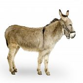 stock photo of jack-ass  - donkey in front of a white background - JPG