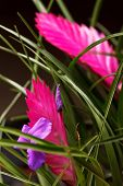 stock photo of tillandsia  - tillandsia flower - JPG