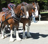 foto of clydesdale  - clydesdale horse - JPG