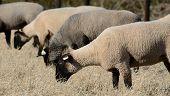 foto of suffolk sheep  - Suffolk sheep grazing on grass in a field - JPG