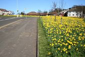 image of yellow flower  - Road and pavement lined with daffodils in springtime - JPG