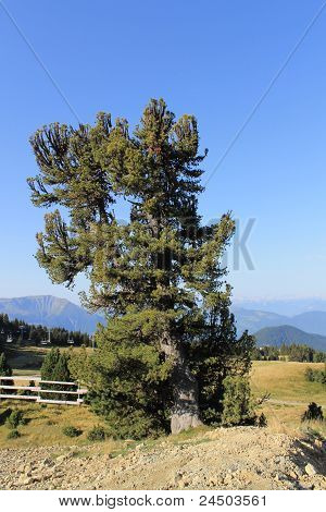 Tree and Alps