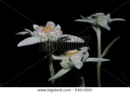 flor de Edelweiss en la noche