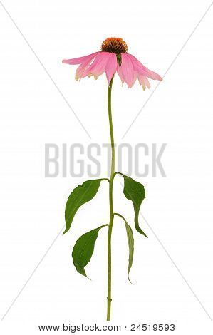 Echinacea purpurea flower over white background