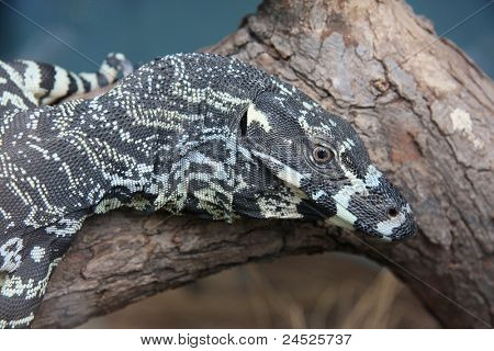 Goanna - Komodo dragon