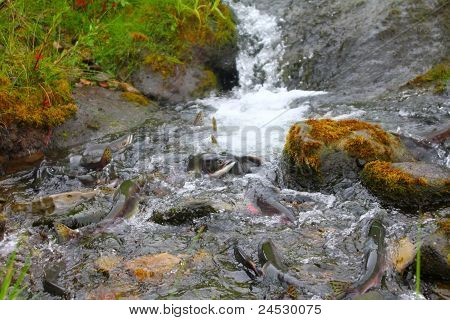 hunchback salmon (Oncorhynchus gorbuscha)