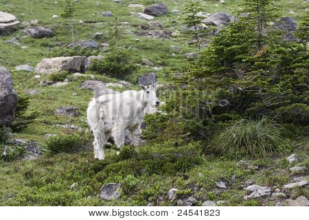 Mountain Goat in Summer