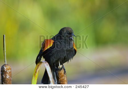 Redwinged Blackbird Calling