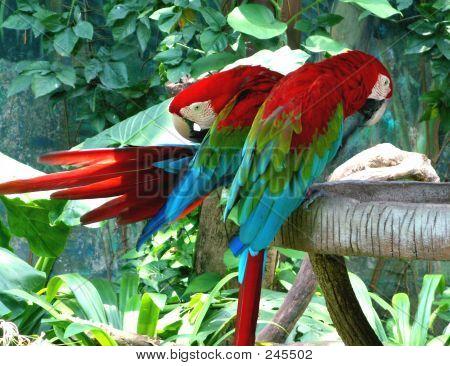 Pair Of Parrots Preening