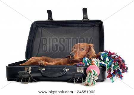 Dog Resting In Suitcase