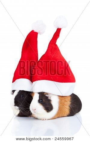 Guinea Pigs With Christmas Hat
