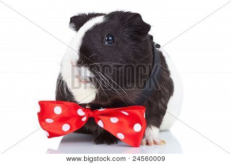 Guinea Pig Wearing A Red Bow Tie
