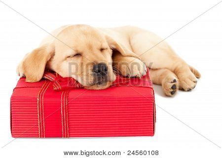 Labrador Puppy Sleeping On A Present