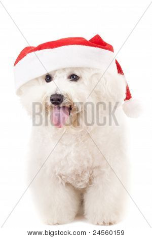 Bichon Frise In A Santa Claus Hat
