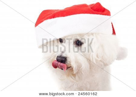 Bichon Frise Is Wearing A Santa Claus Hat
