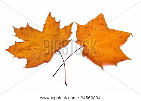 Mapple Leaves