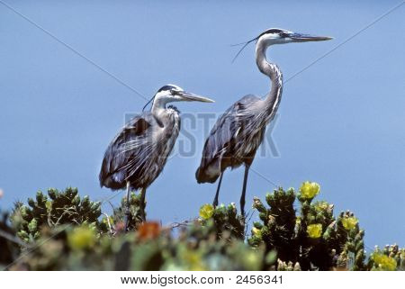 Heron-Great Blues On Blooming Cactus