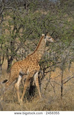 Africa-Reticulated Giraffe