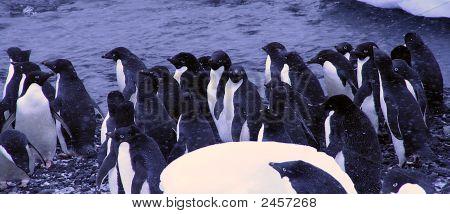Bandada de pingüinos de Adelia