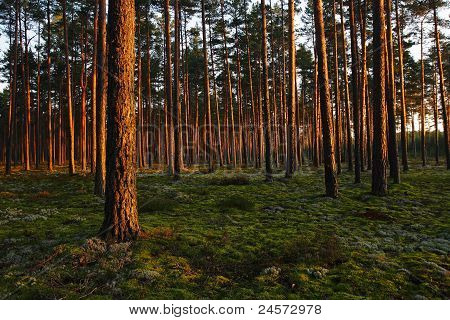 Sunset In A Forest