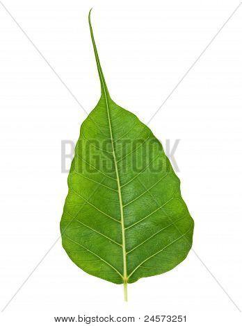 Bodhi Or Sacred Fig Leaf Isolated