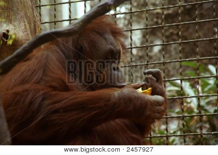 Orangutan Female Having Lunch