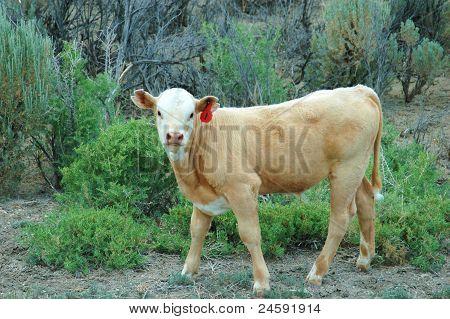 Desert Cow