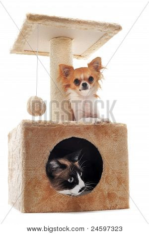 Chihuahua And Siamese Cat