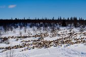 In The Far Cold North, Across The Snow-covered Field, Runs A Herd Of Wild Reindeer, Under The Cold C poster