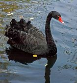 pic of black swan  - black swan - JPG