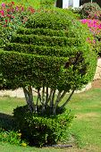 Well-groomed Bush Of A Beautifully Cropped Evergreen Bush Box-tree On A Background Of Bright Green S poster