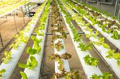 Organic Hydroponic Vegetable Cultivation Farm,red Oak, Green Oak,  Cultivation Hydroponic Green Vege poster