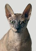 Closeup Portrait Of A Grumpy Sphynx Cat Front View - Isolated On Grey Background. poster