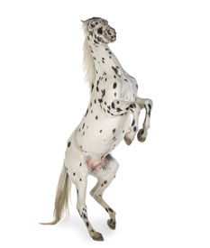 picture of appaloosa  - Appaloosa horse in front of a white background