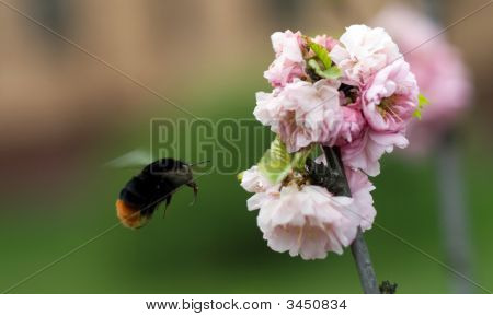 Bumblebee flying to flower on the