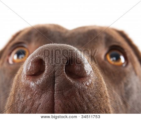 Primer plano de nariz Labrador marrón