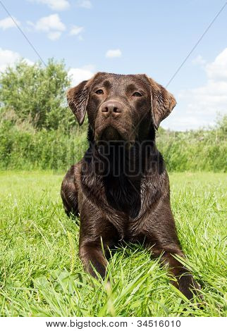 Brown Labrador Lying Down In Grass