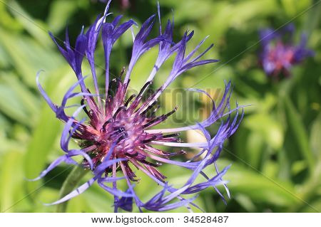 Purple Cornflower
