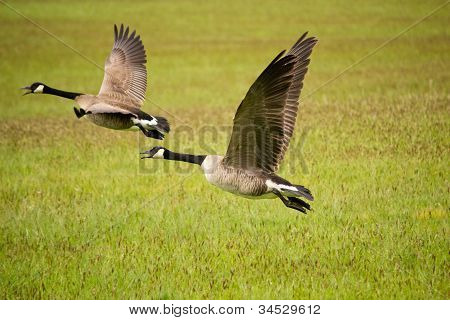 Two Canada Geese Flying