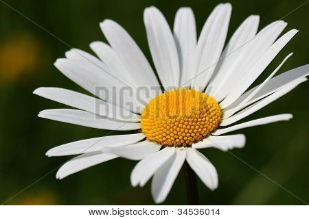 Beautiful White Oxeye Daisy, Chrysanthemum Leucanthemum