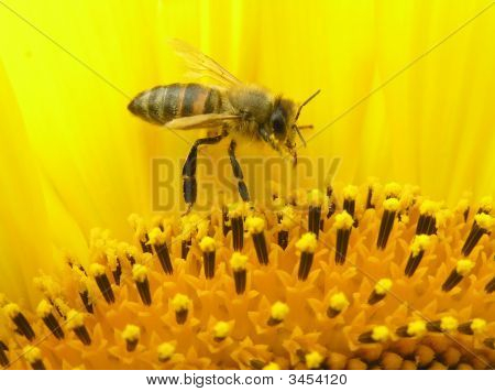 Bee On Inflorescence Of Sunflower