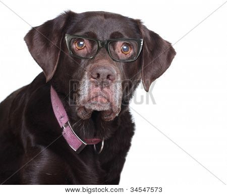 Old labrador retriever wearing eye glasses, studio isolated on white.