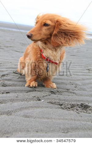 Windy day at the beach for this little dachshund puppy.